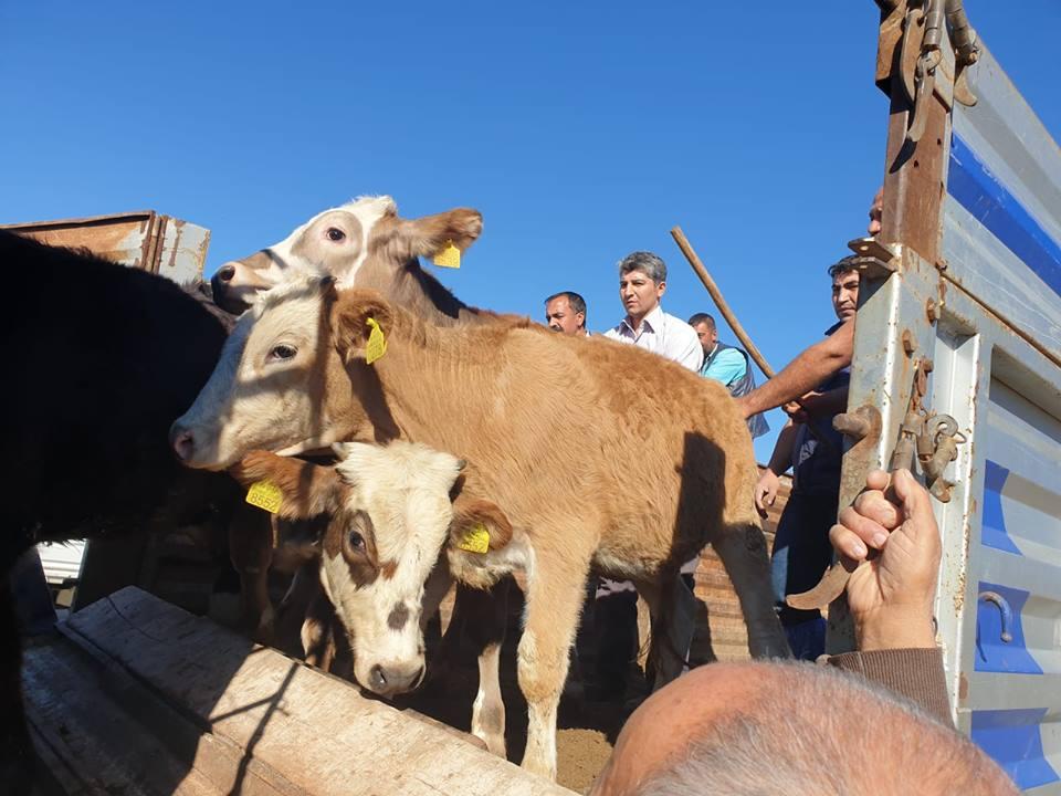 12 Çiftçiye 60 Adet Büyükbaş Hayvan Dağıtıldı » büyükbaş, çiftçi, destek, hayvan