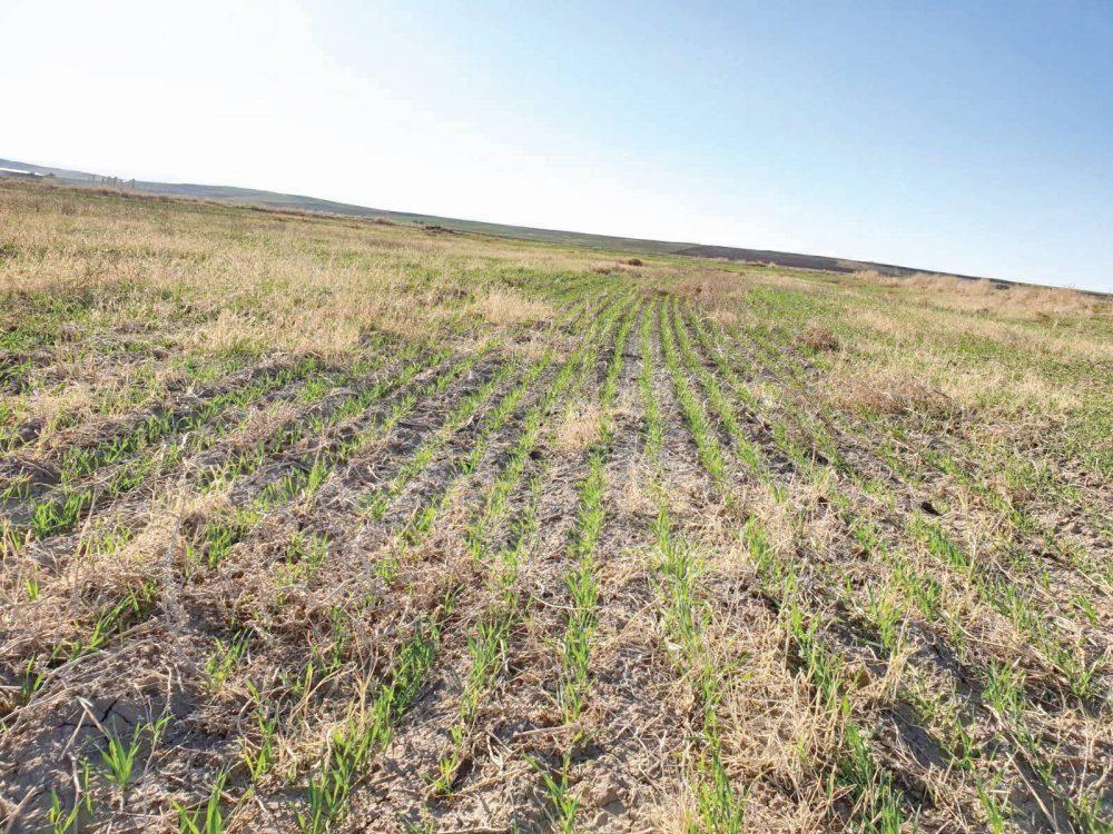 Bozkır Ekosistemlerinde ilklim değişikliğine Ekosistem tabanlı uyum için tarımsal uygulamalar proje kapmasında 17 dekarlık anızlı alana direkt ekim yapıldı. İlçe Tarım Müdürü Hicabi Berişbek ve teknik personel önceki gün tarlaya giderek incelemede bulundular. İlçe Tarım Müdürü Hicabi Berişbek, 3 hafta olmadan çıkışların çok iyi olduğunu söyledi. | Sungurlu Haber
