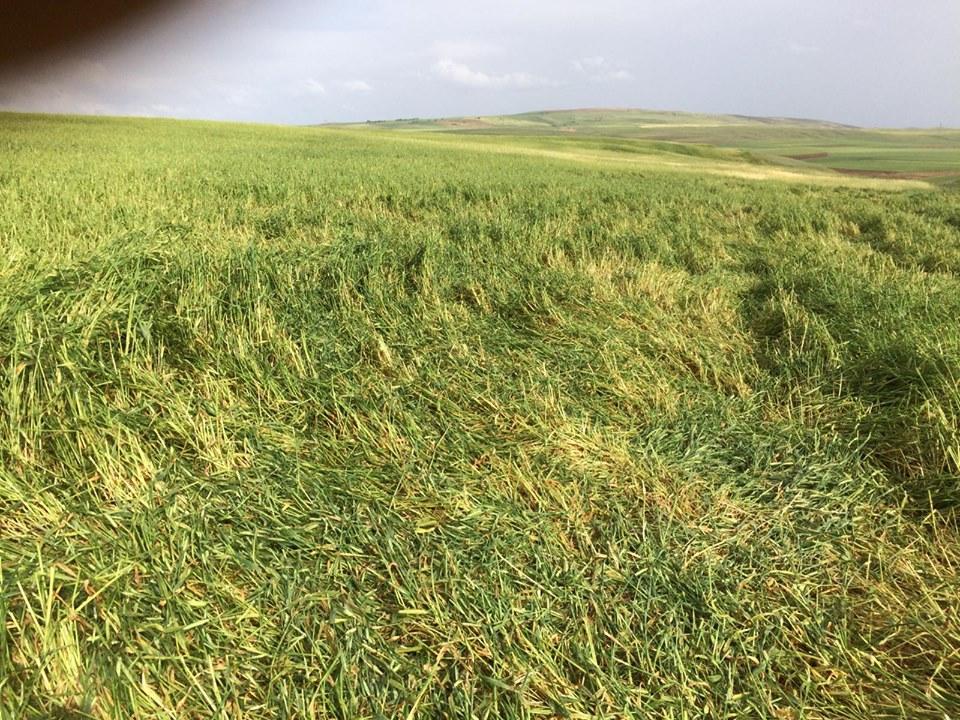 Sungurlu'ya bağlı bazı köylere yağan ceviz büyüklüğünde ki dolu nedeniyle ekili araziler zarar gördü. İlçede bir süredir aralıklarla devam eden sağanak yağış ve dolu, son olarak ova köylerinde etkili oldu. Önceki gün ceviz büyüklüğünde yağan dolu yağışı özellikle ekili arazilere zarar verdi. | Sungurlu Haber