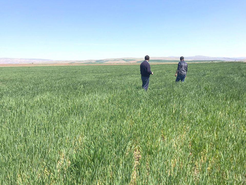 Sungurlu Ziraat Odası Başkanı Ramazan Kelepircioğlu, hububatta görülen hastalıklar ile ilgili çiftçilere uyarılarda bulundu. | Sungurlu Haber