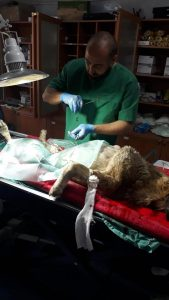 Sungurlu Belediyesi'ne gelen bir ihbarda bir köpeğin zehirlendiğini ve doğum yapmak üzere olduğu bildirildi. Derhal harekete geçerek köpeği bulan Sungurlu Belediyesi Veteriner hekimi Aydın Bahtiyar ve belediye ekipleri durumun vahametiyle karşılaştı. Zavallı köpek hakkında bilgi alan Başkan Yardımcısı Sakine Sarıyüce, Çorum Belediyesi ile irtibata geçerek köpeği sezaryen ve tedavi olması için Çorum'a gönderdi. | Sungurlu Haber