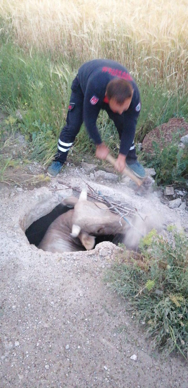 Sungurlu'da 3 metrelik kuyuya düşen inek, kepçeyle 2 saatlik çalışmanın ardından kurtarıldı.   Sungurlu Haber