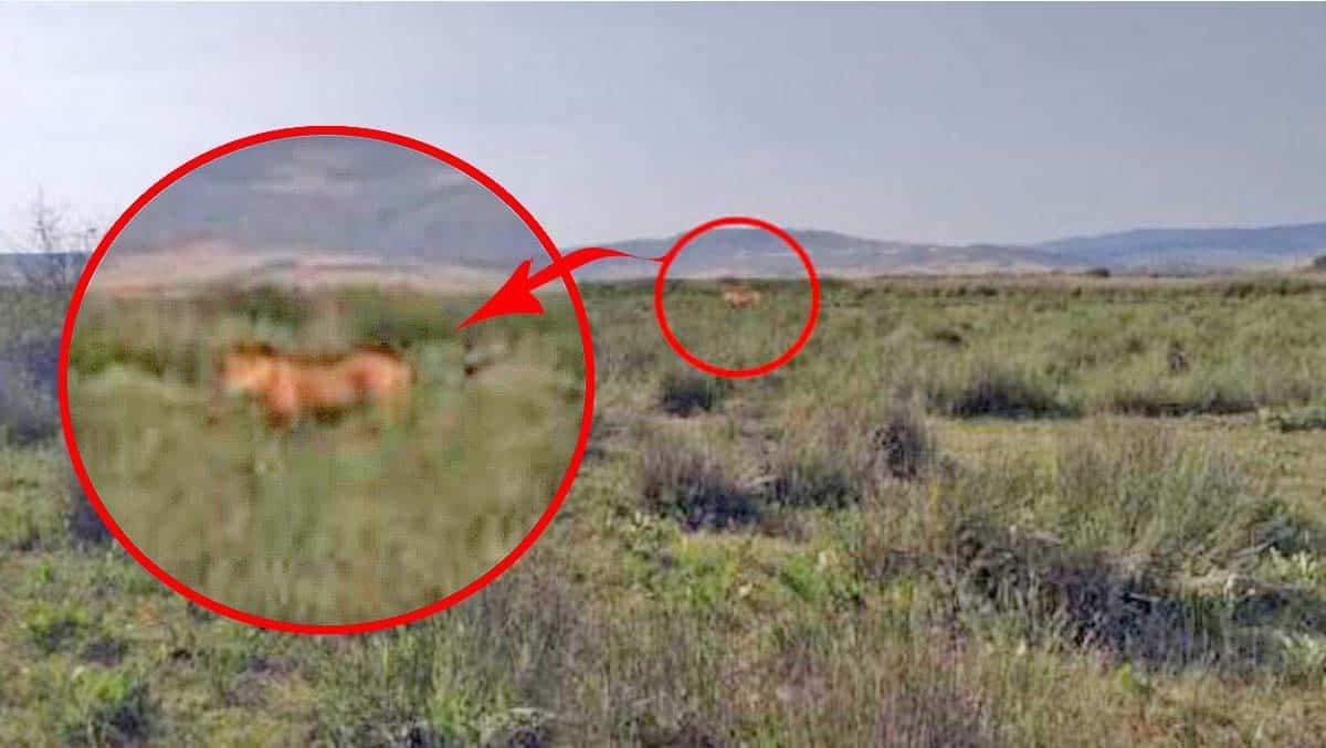 Çorum'da kayıp hayvanları arayan çobanın cep telefonu kamerasına takılan ve bir aslana ait olduğu öne sürülen görüntü, ekipleri harekete geçirdi. | Sungurlu Haber