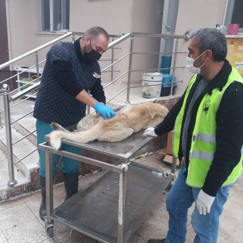 Ankara-Samsun asfaltı üzerinde araba çarpan sokak köpeği Sungurlu Belediye ekipleri tarafından bulunduğu yerden alınarak Veteriner Hekimi Aydın Bahtiyar'a ulaştırıldı. Gerekli müdahaleler ve tedavi yapıldıktan sonra yaralı köpek bakım altına alındı. | Sungurlu Haber