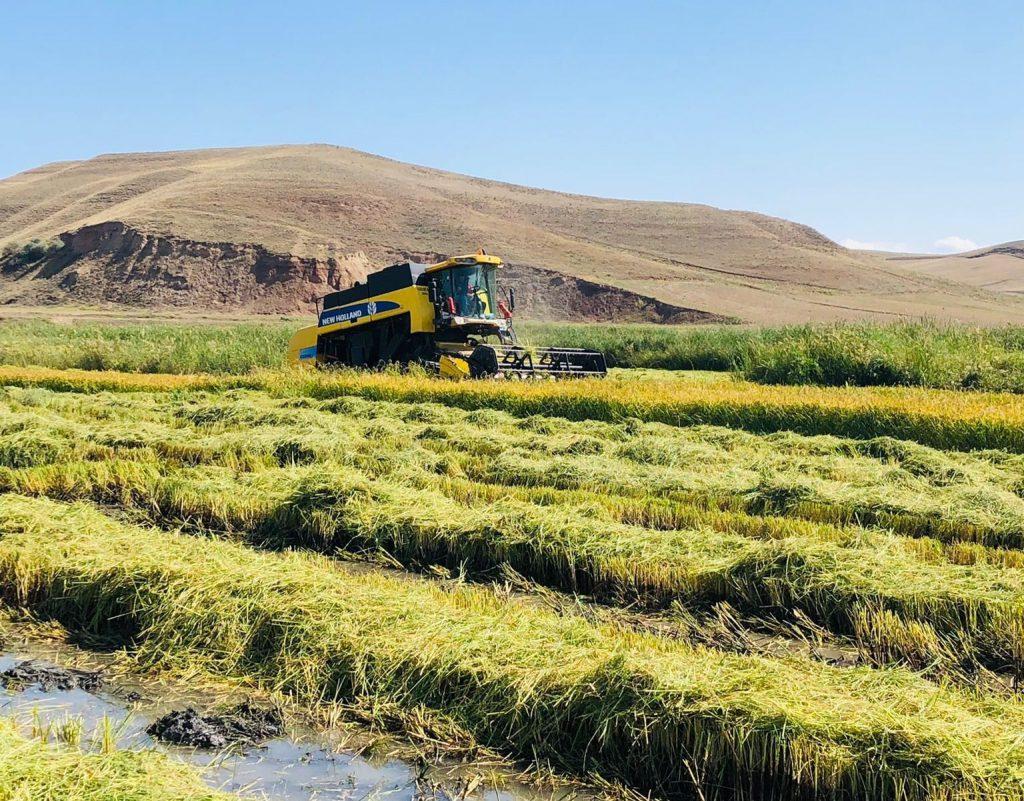 İlçeye bağlı Kula Köyü Paşa Çiftliği mezrasında toplamda 550 dönüm arazinin üzerinde ki araziye çeltik eken Fatih Altuntaş isimli çiftçi, ilk çeltik hasadını yaptı. | Sungurlu Haber